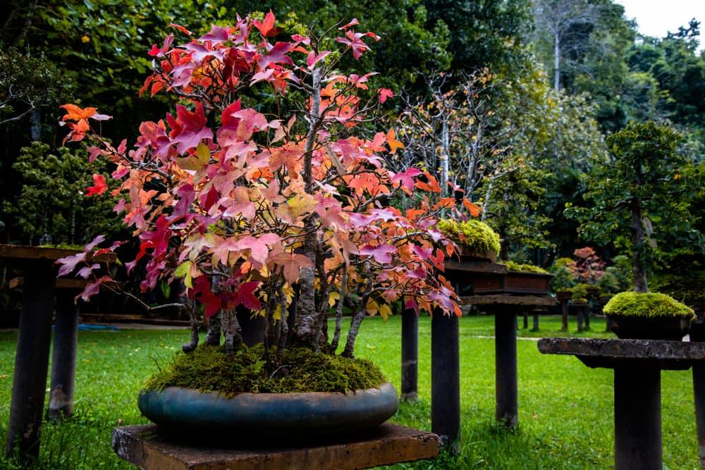 Maple bonsai tree in a garden planter