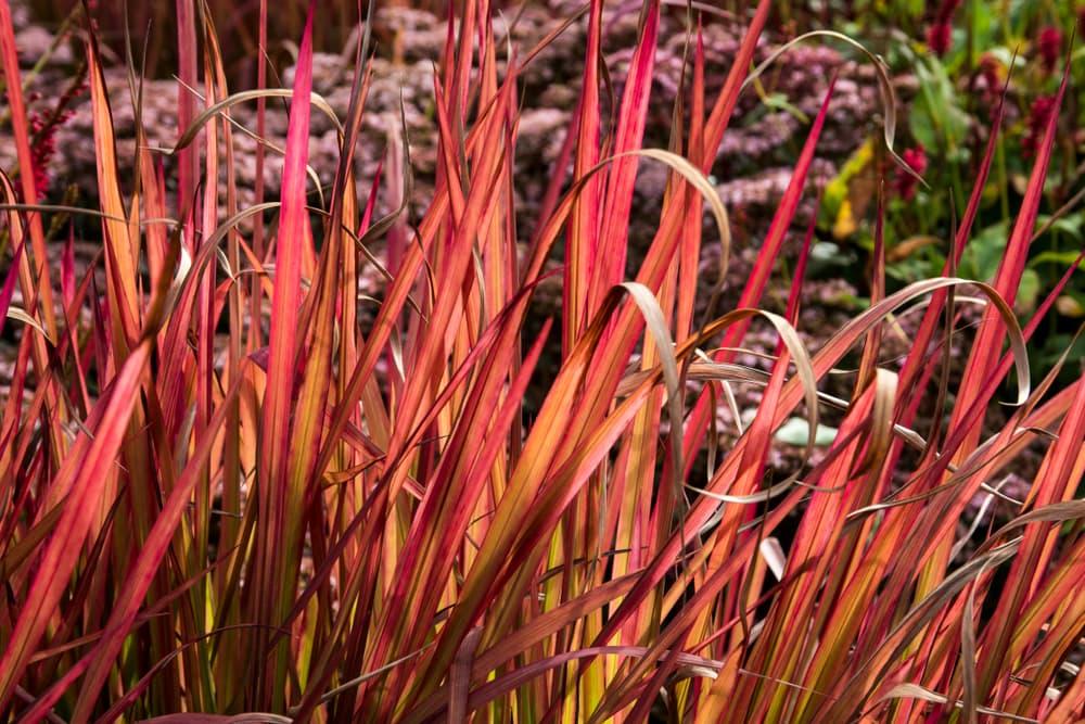 scarlet Imperata cylindrica grass