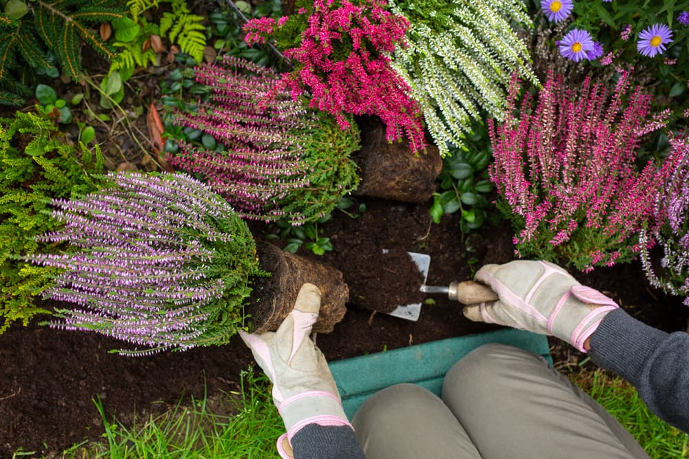 planting heathers into garden beds