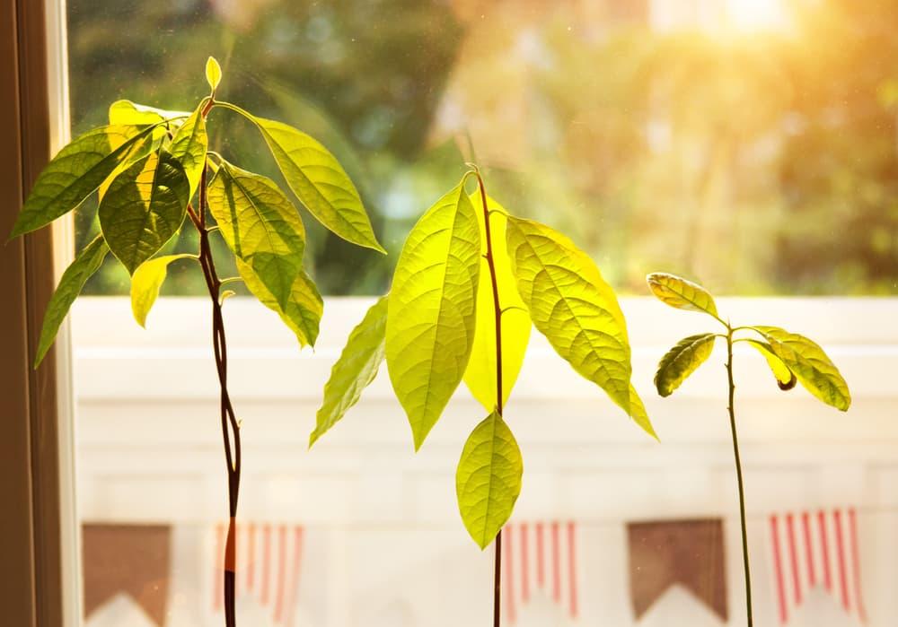 avocado plant leaves in sunlight