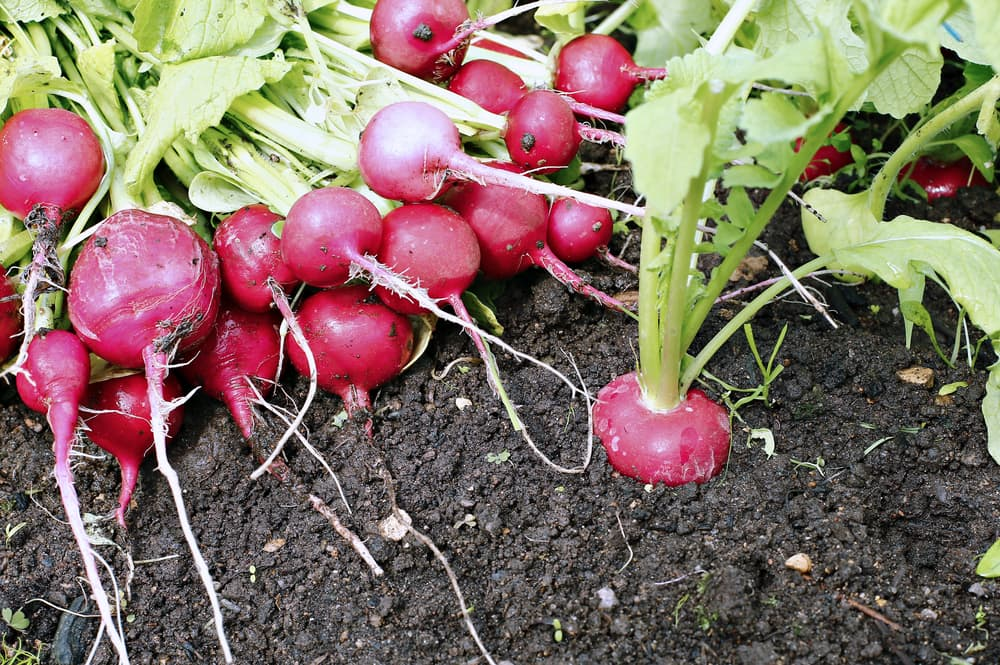 fresh red radishes in the ground