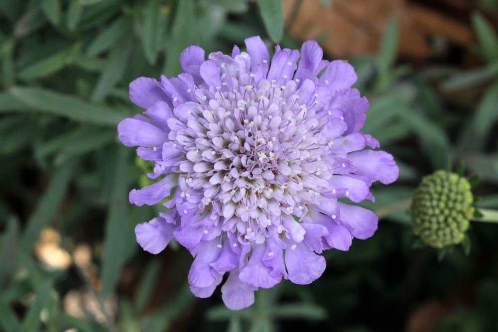 purple butterfly blue flower up close