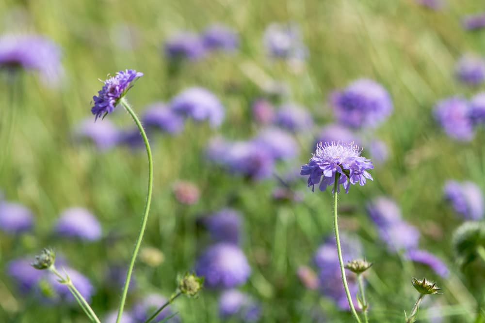 purple coloured Field scabious