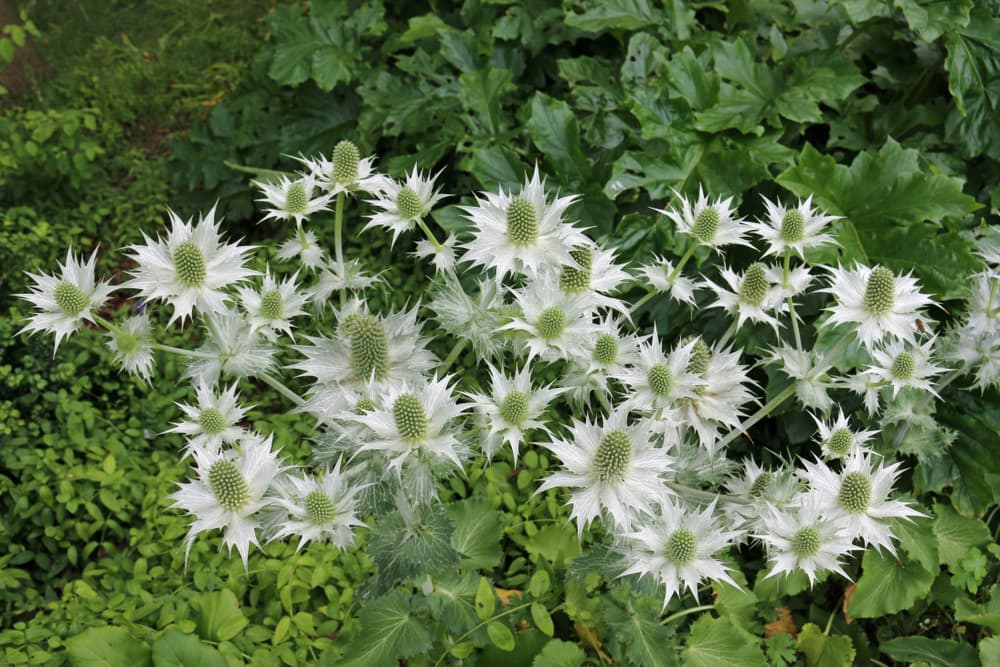 white sea holly in a flowerbed