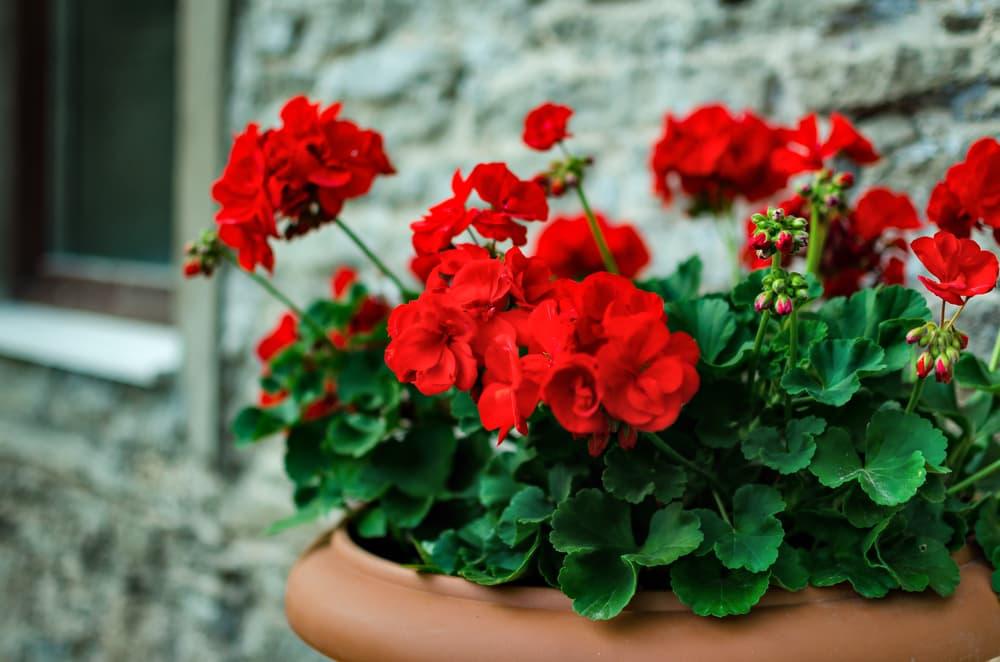 red geraniums in a terracotta pot