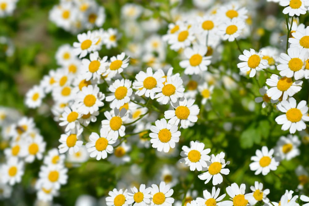 lots of white and yellow Golden Feverfew flowers
