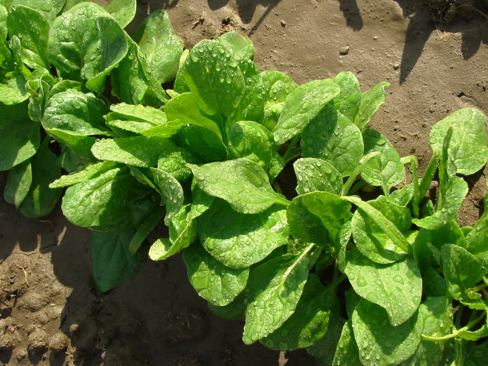 spinach growing in the ground