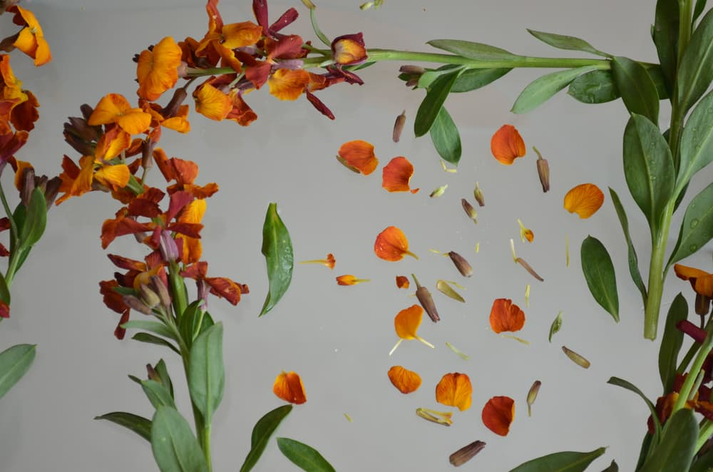 orange western wallflower leaves and petals on a grey background