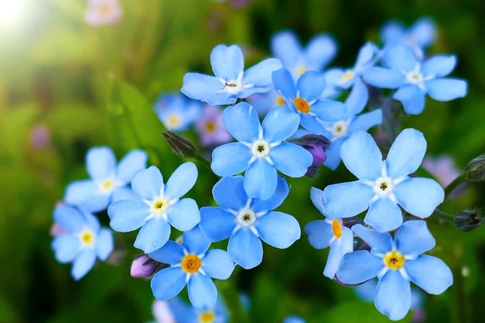 myosotis flowers in bright blue shades