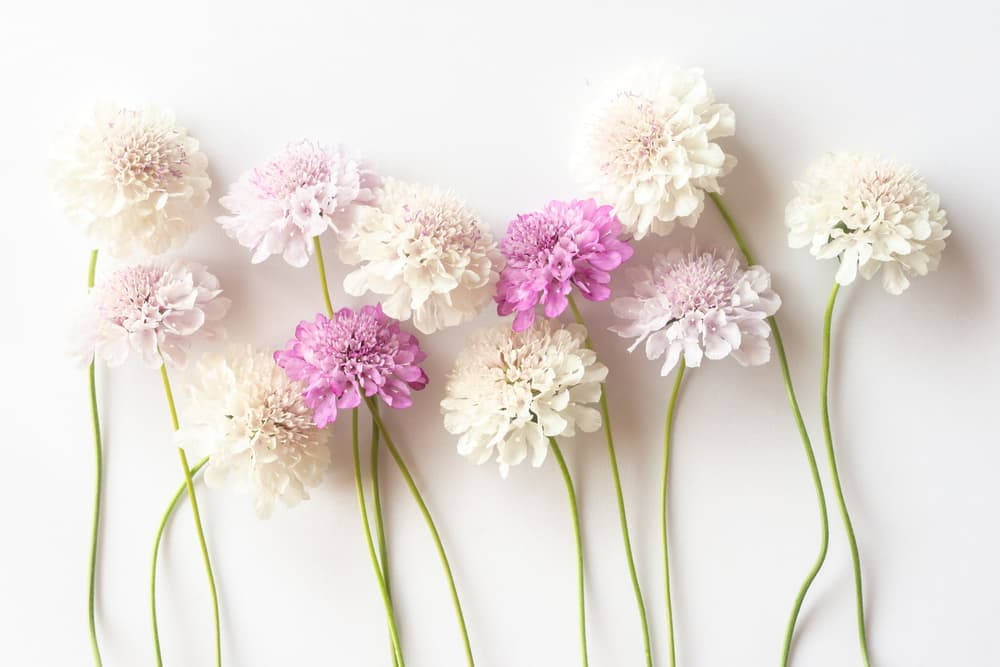 scabiosa flowers in pink and white on a white background