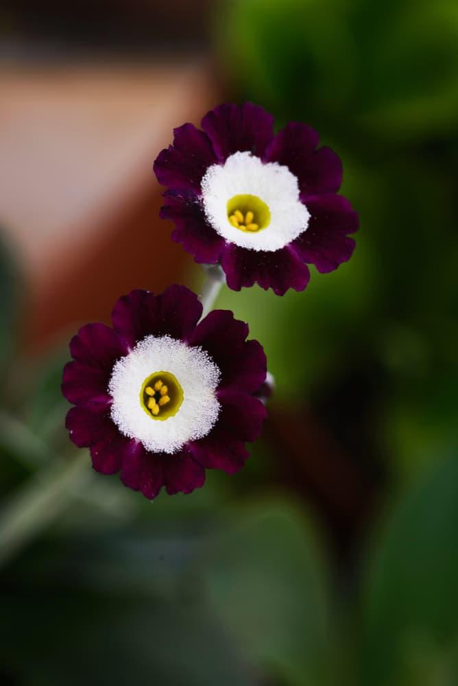 two primula x pubescens close up