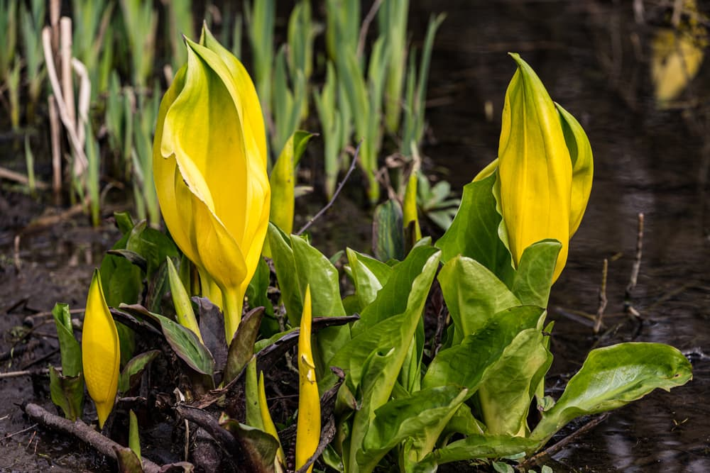 american skunk cabbage at the edge of water