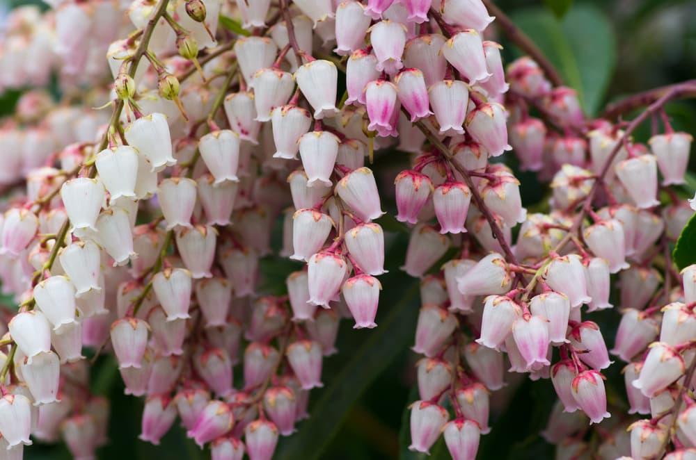 cascading Pieris flowers