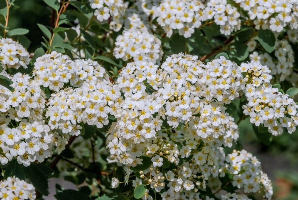 blooms of Nippon Spirea