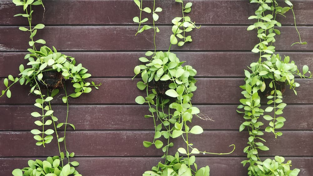 creeping Dischidia nummularia leaves on a wooden fence