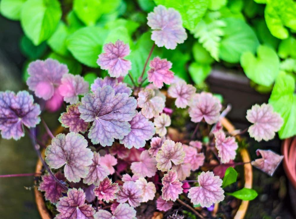 purple leaves of heuchera in a pot