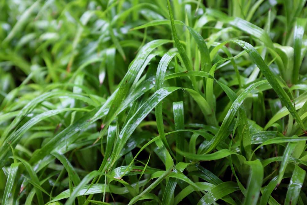 great woodrush evergreen grass