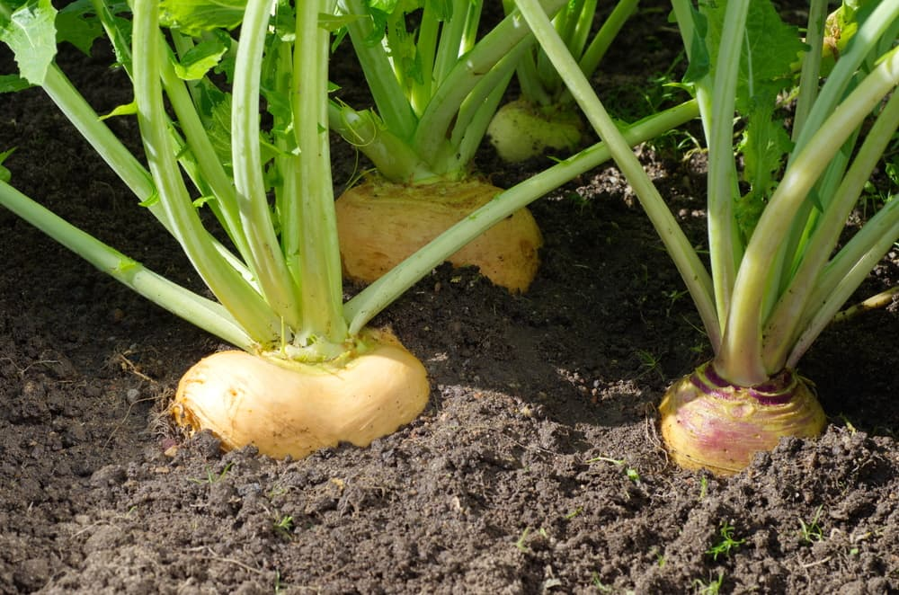 turnips in the garden