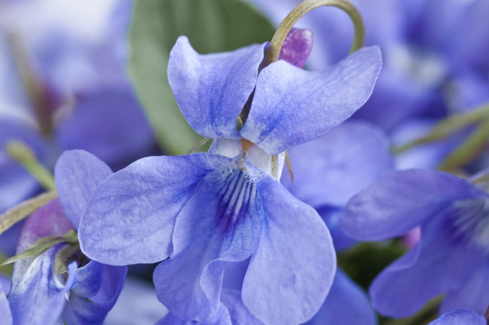 close up of violets