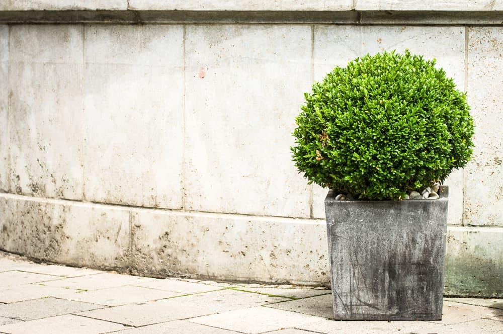 small privet bush in stone planter