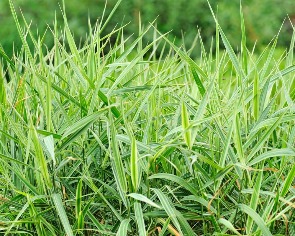 spikey Millium effusum grass