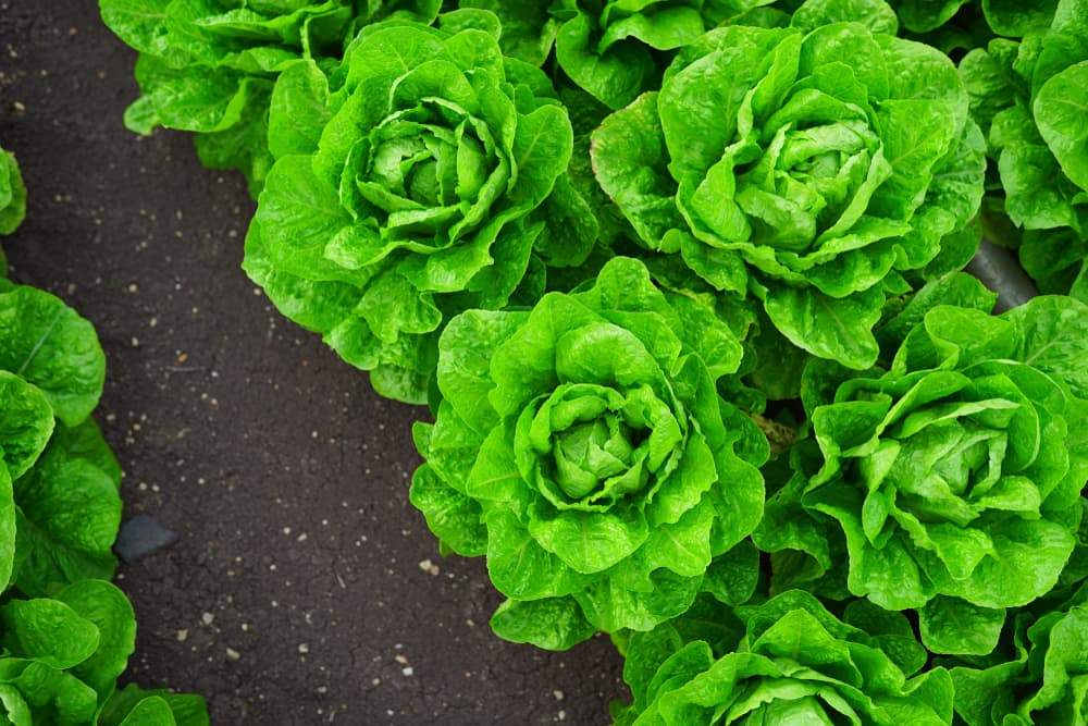 winter lettuce growing in the ground
