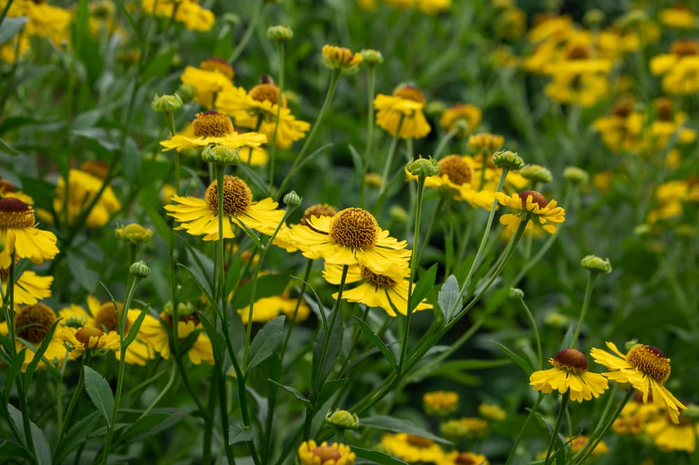 yellow heleniums with green foliage