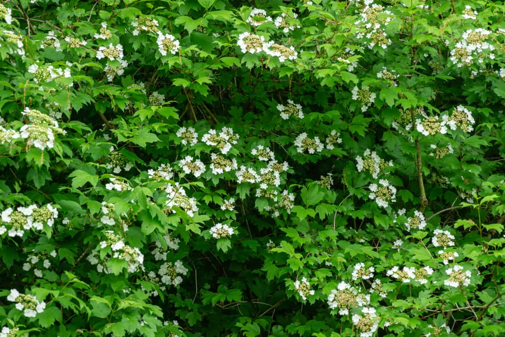 Viburnum opulus with dark green foliage and white flowers