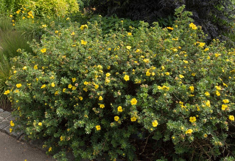 Potentilla fruticosa in a cottage garden