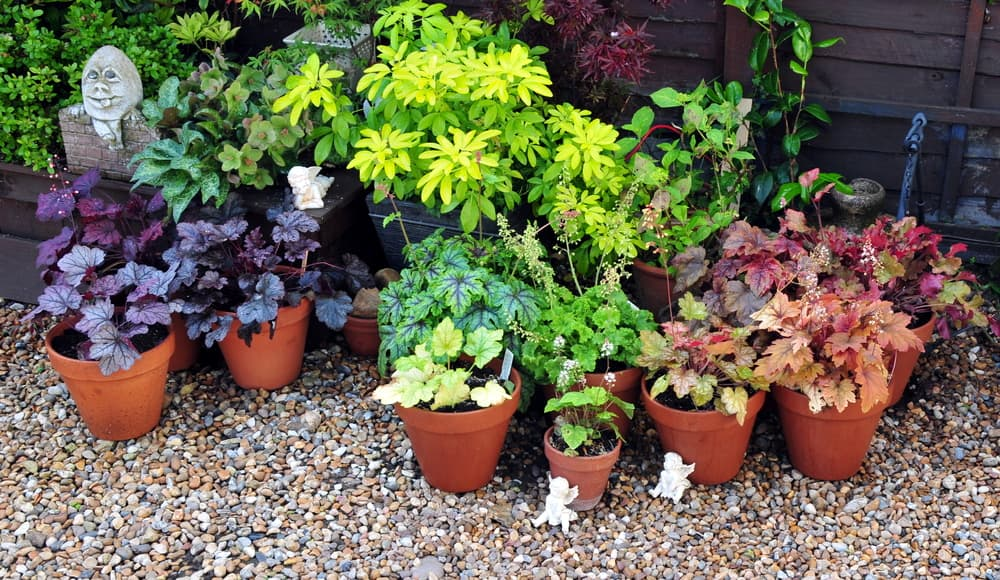 potted heuchera in various colours