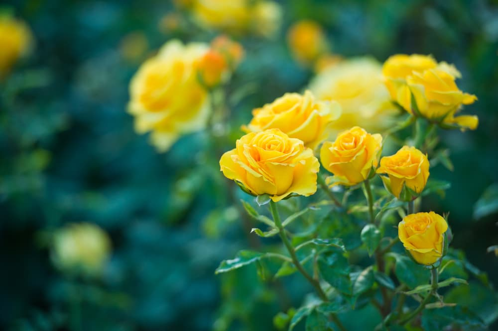 yellow roses growing in a garden