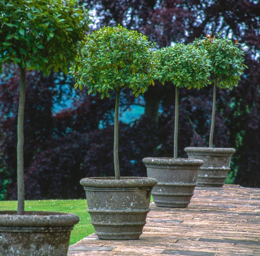 bay laurel in 4 outdoor pots
