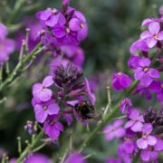 purple Erysimum Bowles's Mauve with a bumblebee
