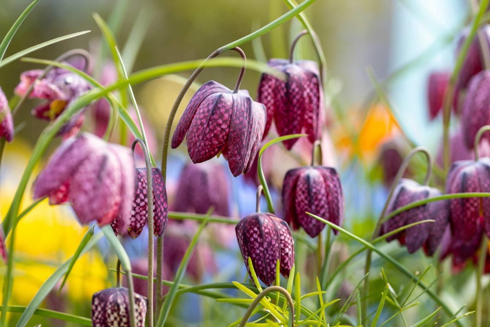 Fritillaria meleagris flowers