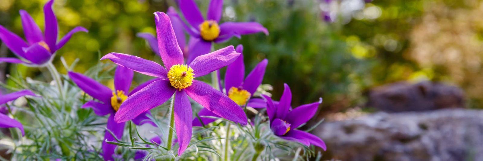 purple Pulsatilla vulgaris flowers with rocks in the background