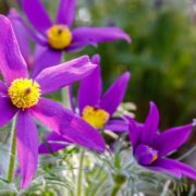 purple Pulsatilla vulgaris flowers with rocks in the background