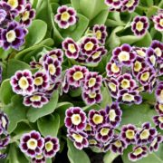auricula flowers with purple, white and yellow colours