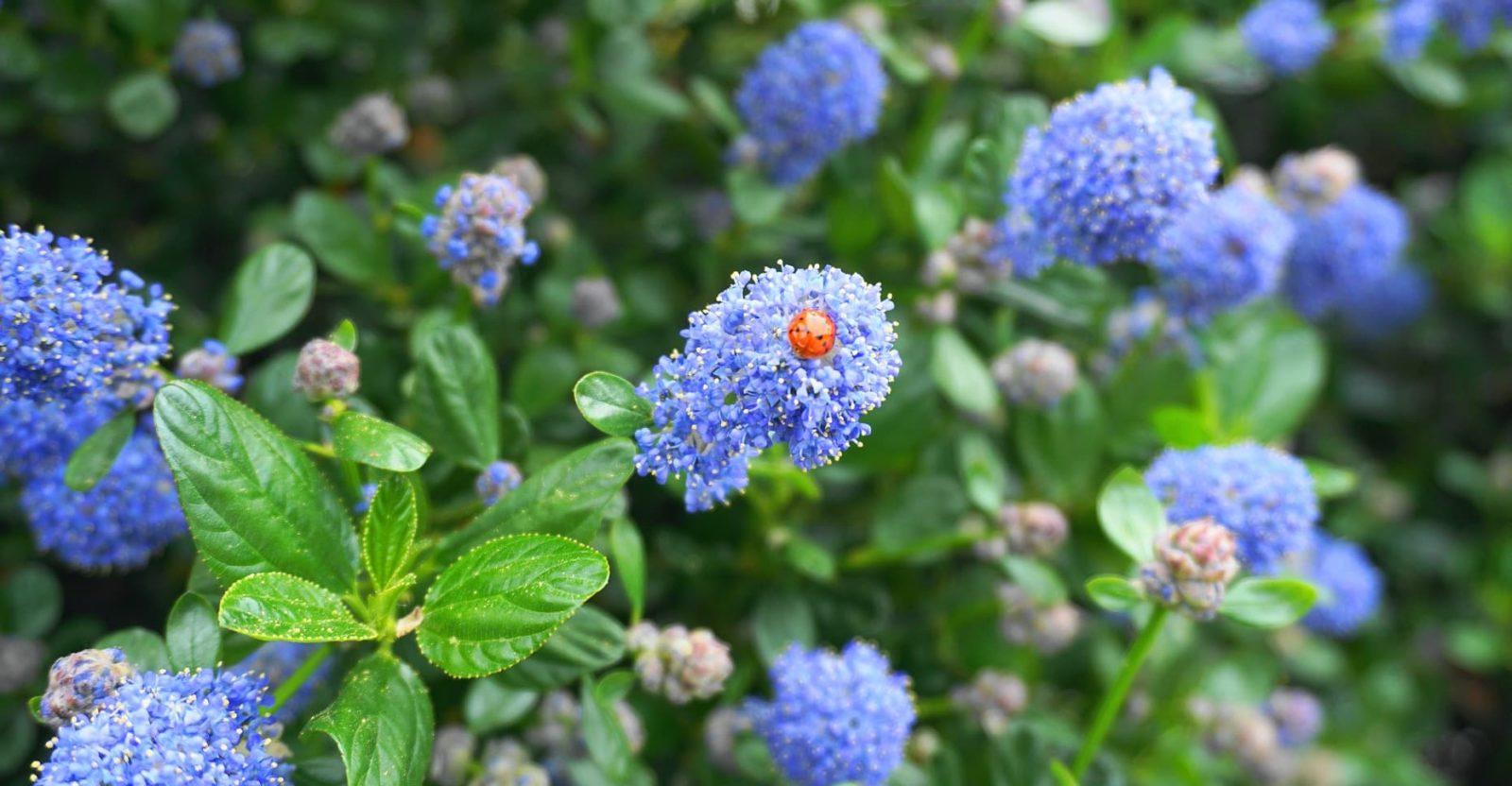 ladybird sat on blue ceanothus blossoms