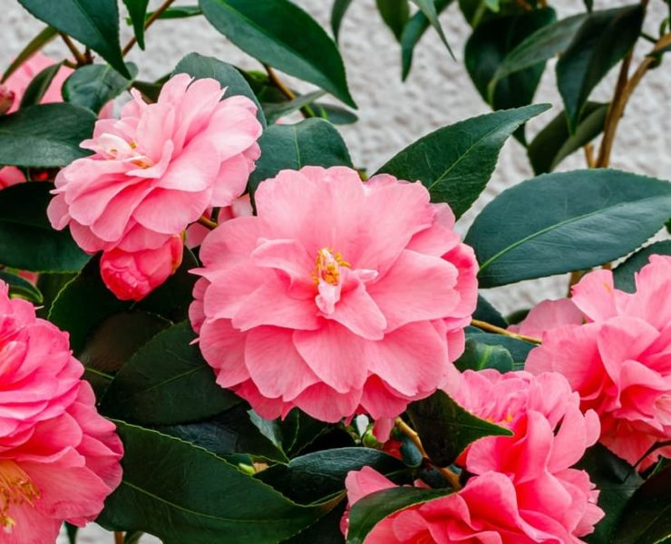 camellia shrub with bright pink flowers and dark green foliage