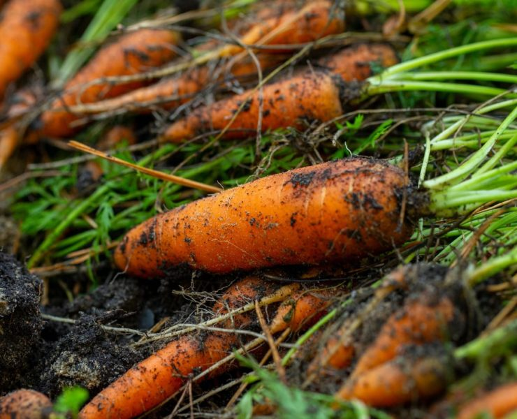 carrots freshly dug from the earth