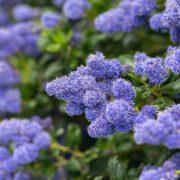 blooming purple Californian lilac flowers
