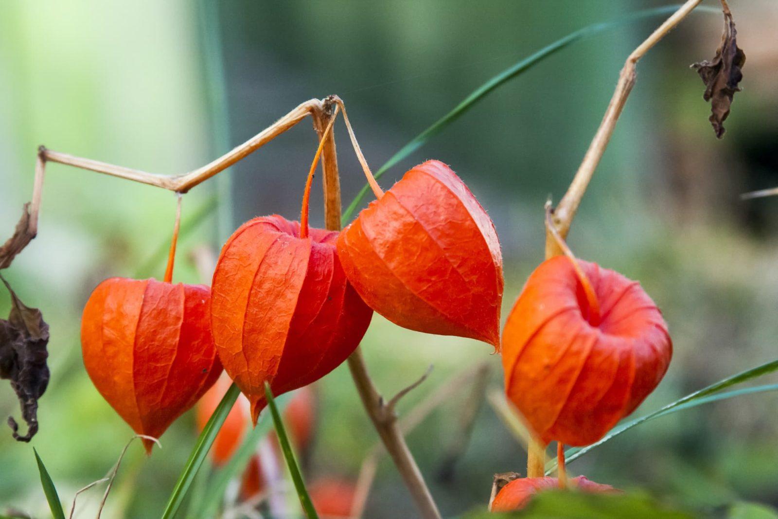 orange Physalis alkekengi plant