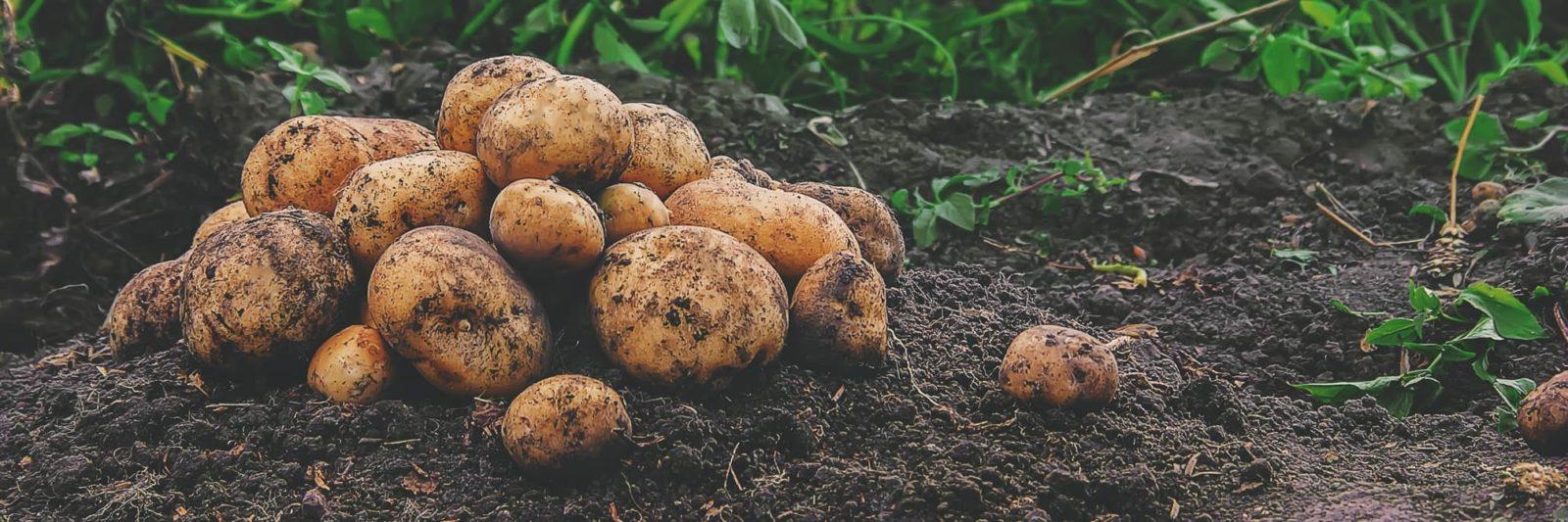harvested potatoes sat on soil