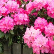 pink hydrangeas and azaleas growing over a garden fence