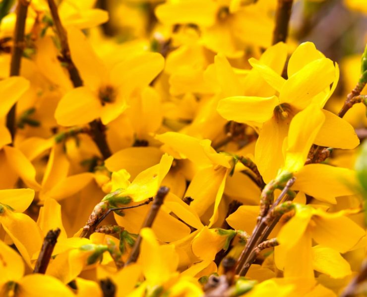 bright yellow Weeping Forsythia flowers