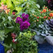 ornamental kales and mexican feather grasses in blue garden pots