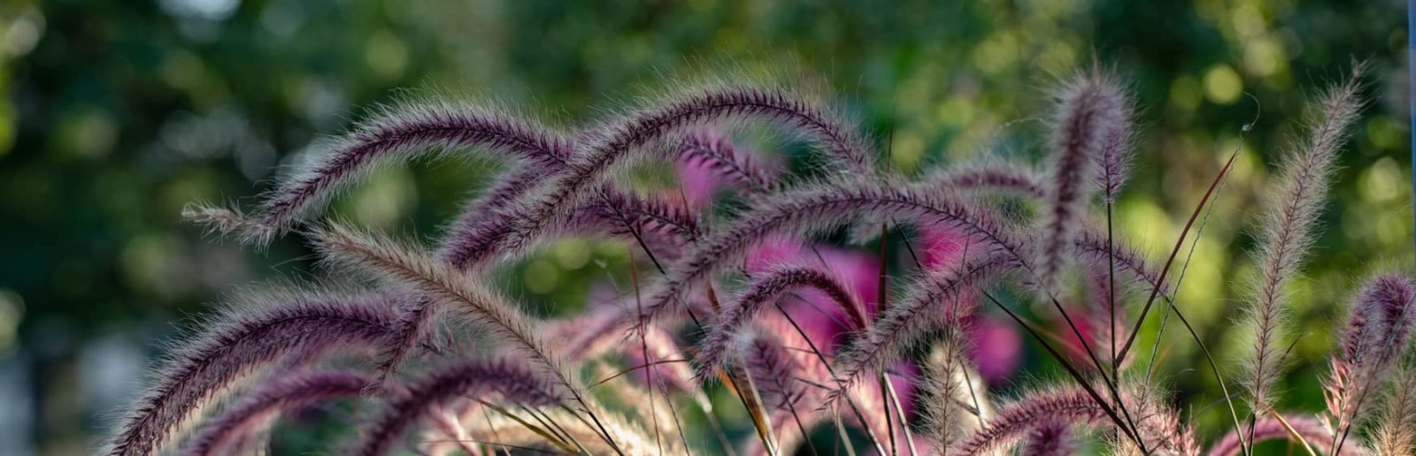 pennisetum grass up close