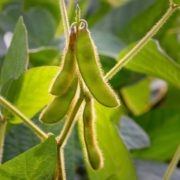 green soybeans growing with foliage in background