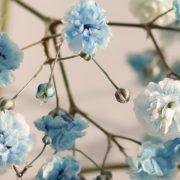 light Blue gypsophila flowers