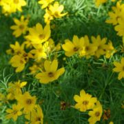 yellow Coreopsis verticillata in bloom